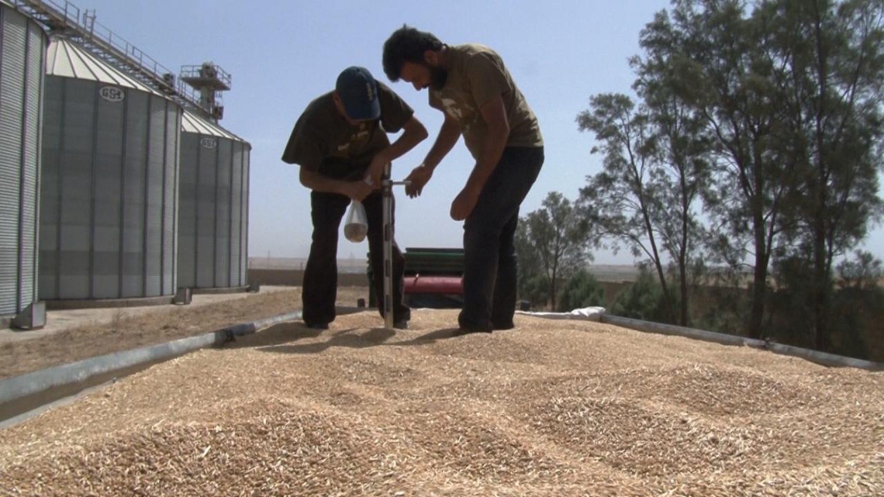 صورة لجان الاقتصاد تستمر باستلام القمح والشعير من مزارعي الرقة والطبقة ودير الزور