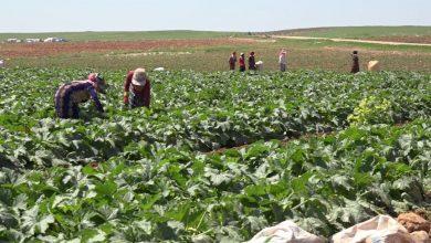 صورة منبج.. مؤسسة الزراعة تمنح التراخيص للمزارعين تمهيداً لتقديم المستلزمات