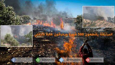 صورة عفرين..المرتزقة يقطعون 500 شجرة لأخوين ويحرقون غابة قازقلي للتغطية على قطع أشجارها