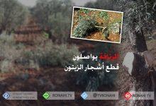 Photo of عفرين..مرتزقة الاحتلال يواصلون قطع أشجار الزيتون لبيع حطبها