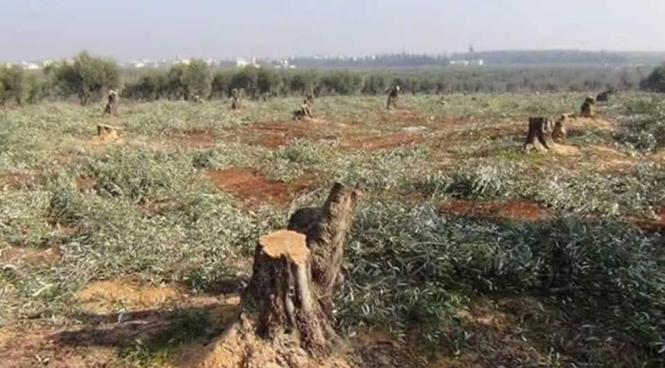 Photo of Li Efrînê bi dehan darên Zetûnan hat birrîn