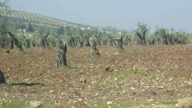 Photo of Çete li navçeya Mabata ya Efrînê 15 darên zeytûn û bahîvan birîn