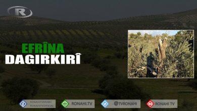 Photo of Li Efrînê çete darên gundê 'Mist Eşûrê' dibirin û difiroşin
